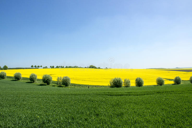 Flowering field and willows, canola fields framed by trees royalty free stock images