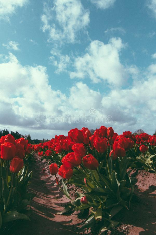 Beautiful agricultural field of red tulips growing under a breathtaking cloudy sky stock photo