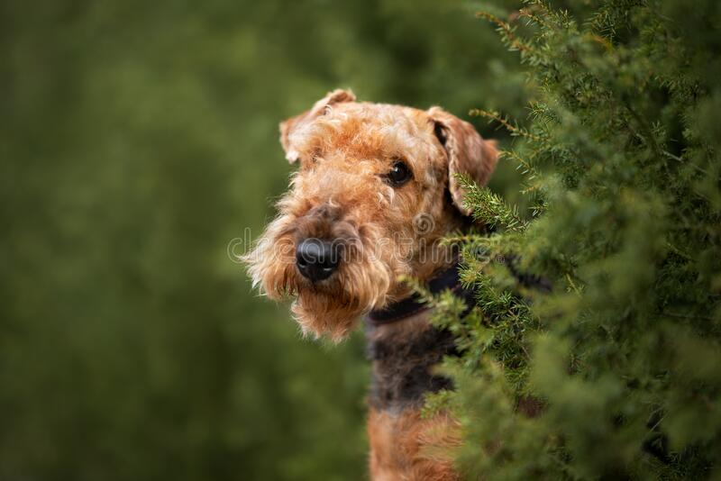 Airedale terrier dog portrait close up in summer. Beautiful airedale terrier dog portrait outdoors in summer royalty free stock photography