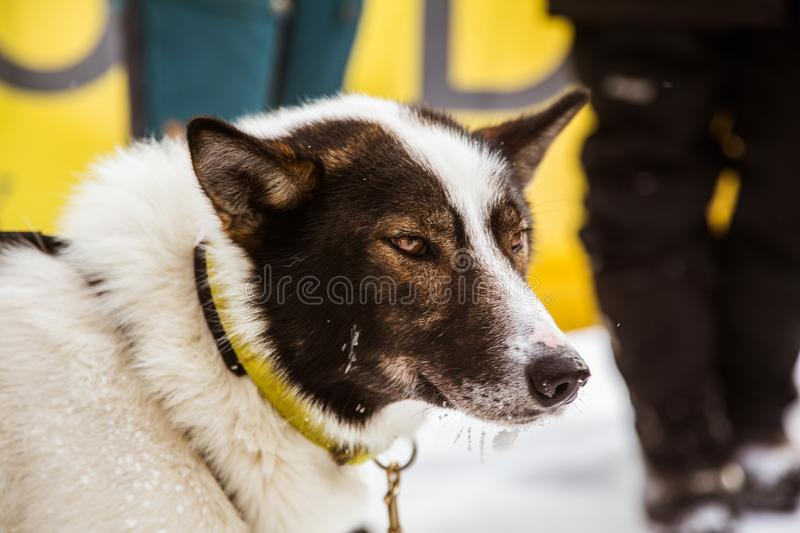 Beautiful alaska husky dogs at the finish line of a sled dog race. stock images