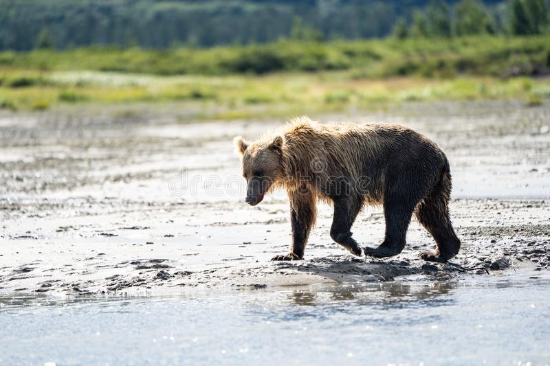 Beautiful Alaskan Coastal Brown Bear grizzly wanders in the cree royalty free stock photography