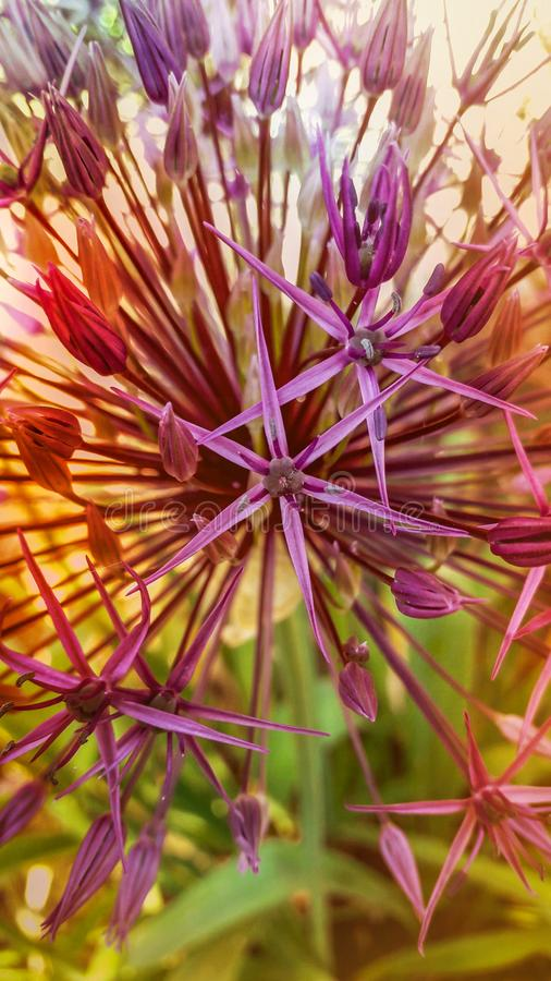 Beautiful Allium. A beautiful Allium flower cluster is portrayed in this close-up image stock images