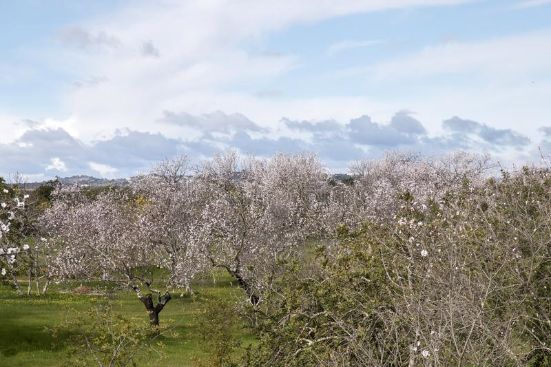 Beautiful almond trees stock photography