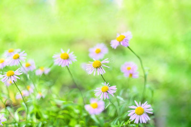 Beautiful Alpine daisies , asters in summer in a flower bed on a green background. Violet-lavender Alpine aster flowering royalty free stock photography