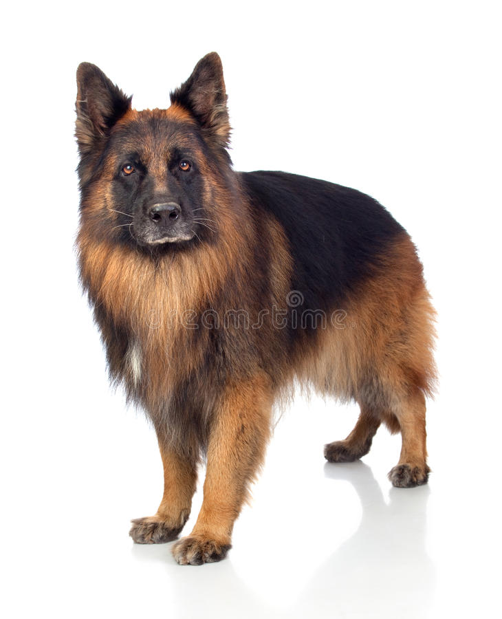 Beautiful Alsatian Royalty Free Stock Image