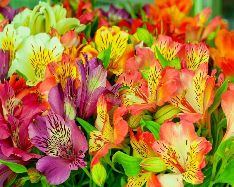 Beautiful alstroemeria flower background.Alstroemeria flower colorful. Close-up royalty free stock photos