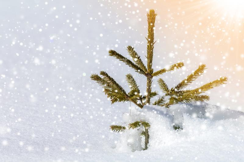 Beautiful amazing Christmas winter mountain landscape. Small young green fir tree spruce growing alone in deep snow on cold sunny royalty free stock photography