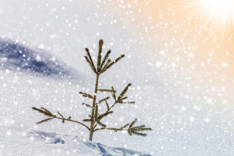 Beautiful amazing Christmas winter mountain landscape. Small young green fir tree spruce growing alone in deep snow on cold sunny royalty free stock image