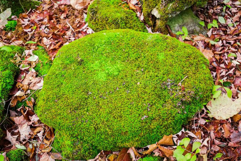 beautiful amazing closeup detailed view of a stone covered with bright green moss in autumn woods royalty free stock photography