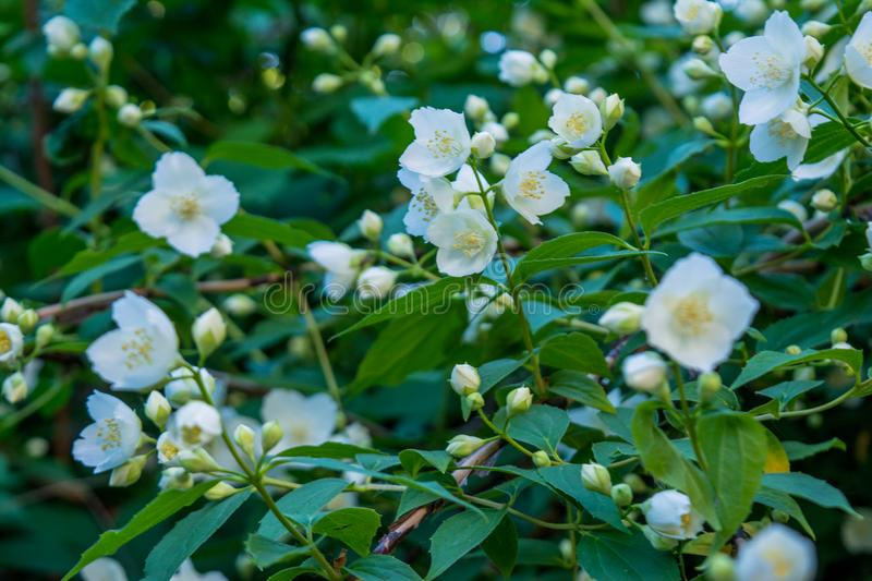 Beautiful amazing white jasmine flowers on the bush in the garden royalty free stock images