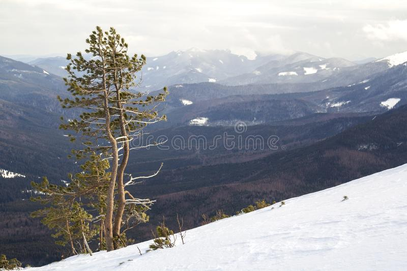 Beautiful amazing wide view winter landscape. Tall pine tree alone on mountain steep slope in deep snow on cold frosty sunny day royalty free stock photography
