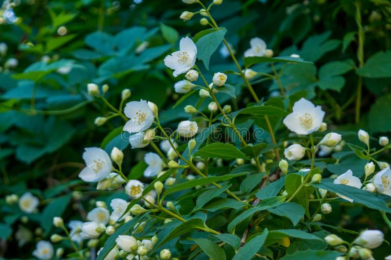 Beautiful amazing young white jasmine flowers on the bush in the garden royalty free stock photography