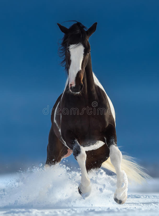 Beautiful American Paint horse running trought snow in winter. Front view stock images