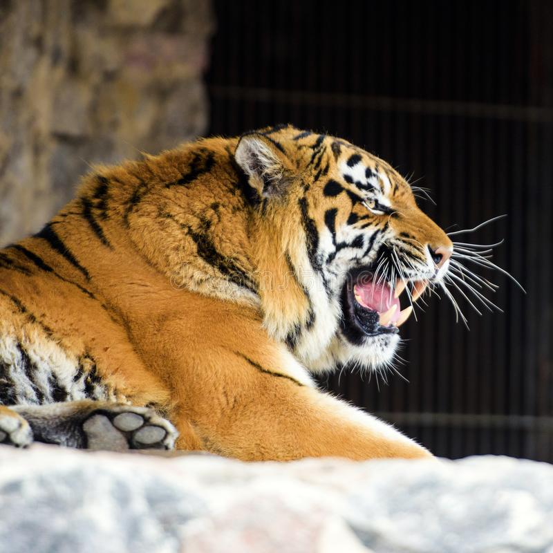 Beautiful amur tiger. Action, aggression, aggressive, angry, animal, background, beauty, bengal, big, carnivore, cat, danger, eyes, face, feline, fur, head royalty free stock image