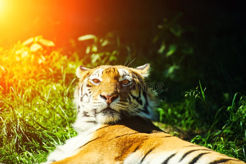 Beautiful Amur tiger. Adult, aggressive, angry, animal, beauty, big, cat, catwalk, danger, expression, eyes, face, head, hunt, hunter, look, nature, portrait stock image