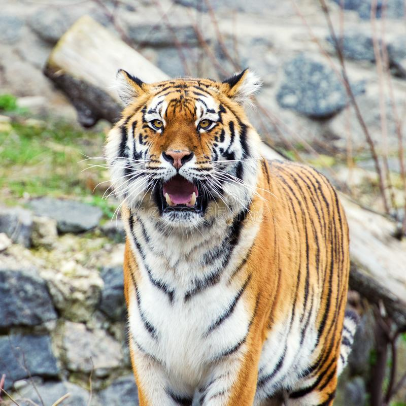 Beautiful amur tiger. Action, aggression, aggressive, angry, animal, background, beauty, bengal, big, carnivore, cat, danger, eyes, face, feline, fur, head royalty free stock photography