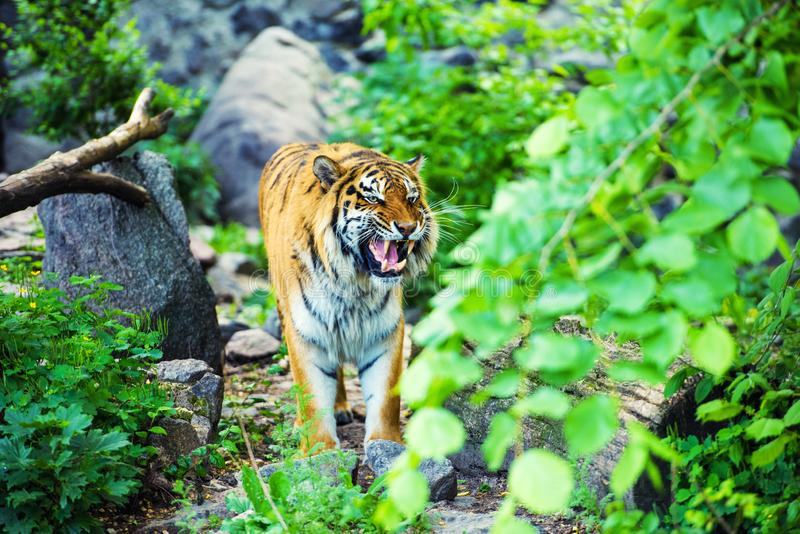 Beautiful Amur tiger. Adult, aggressive, angry, animal, beauty, big, cat, catwalk, danger, expression, eyes, face, head, hunt, hunter, look, nature, portrait stock images