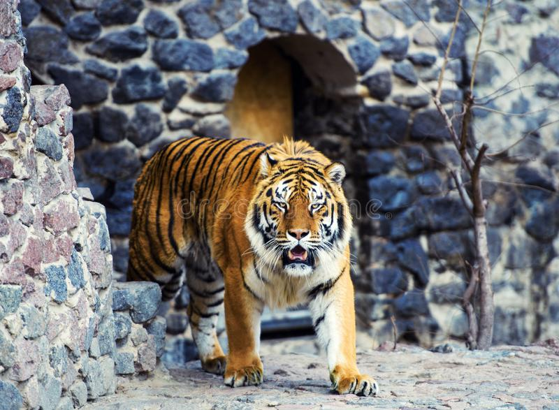 Beautiful amur tiger. Action, aggression, aggressive, angry, animal, background, beauty, bengal, big, carnivore, cat, danger, eyes, face, feline, fur, head stock photo