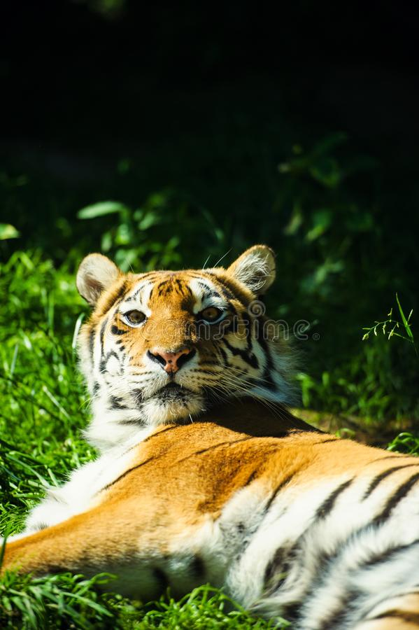 Beautiful Amur tiger. Adult, aggressive, angry, animal, beauty, big, cat, catwalk, danger, expression, eyes, face, head, hunt, hunter, look, nature, portrait royalty free stock photography