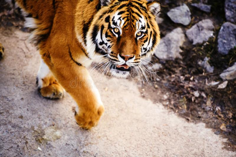 Beautiful Amur tiger. Hunt, action, aggression, aggressive, angry, animal, background, beauty, bengal, big, carnivore, cat, danger, expression, face, feline royalty free stock photo