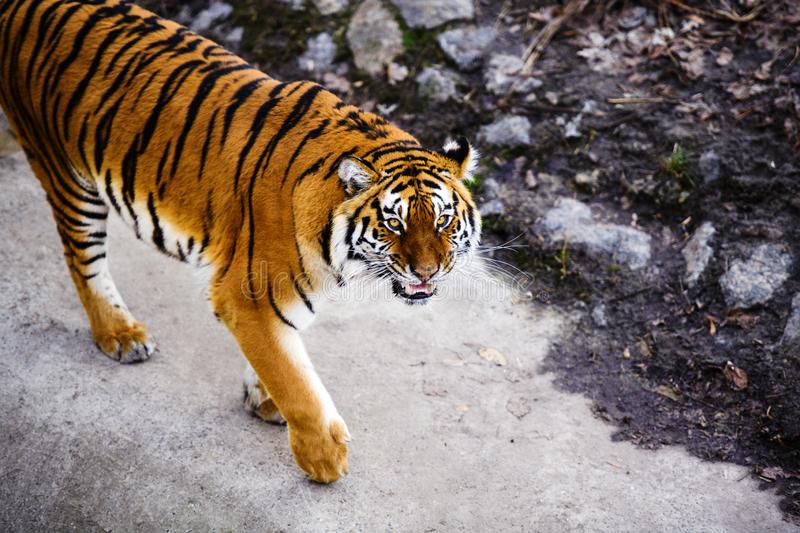 Beautiful Amur tiger. Hunt, action, aggression, aggressive, angry, animal, background, beauty, bengal, big, carnivore, cat, danger, expression, face, feline royalty free stock images