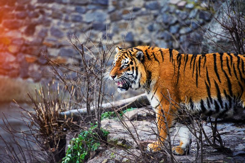 Beautiful Amur tiger. Hunt, action, aggression, aggressive, angry, animal, background, beauty, bengal, big, carnivore, cat, danger, expression, face, feline royalty free stock photos