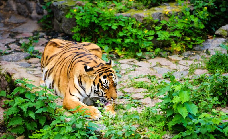 Beautiful Amur tiger. Hunt, action, aggression, aggressive, angry, animal, background, beauty, bengal, big, carnivore, cat, danger, expression, face, feline stock images