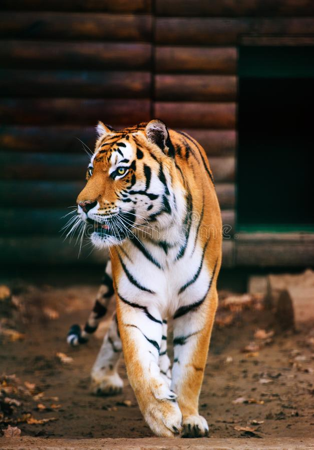 Beautiful Amur tiger. Action, aggression, aggressive, angry, animal, background, beauty, bengal, big, carnivore, cat, danger, expression, face, feline, head stock image