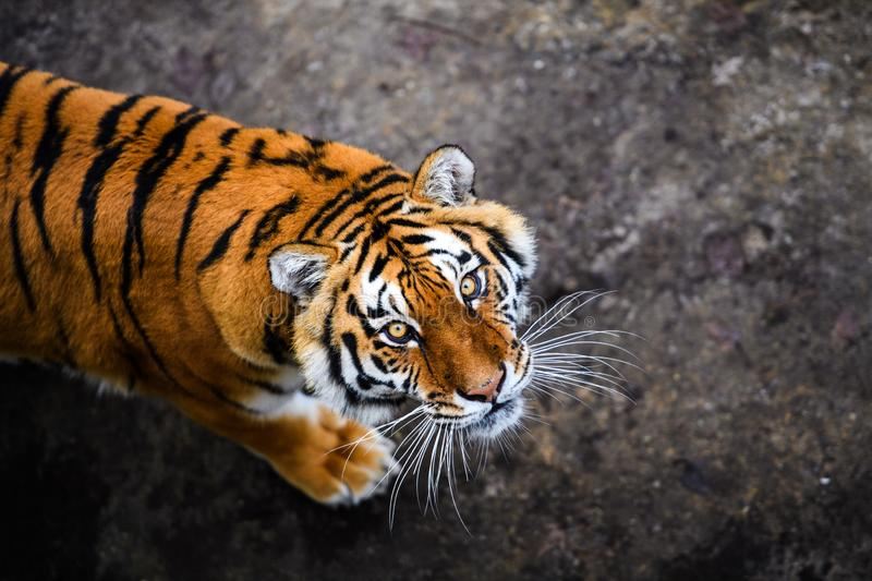 Beautiful Amur tiger. Action, aggression, aggressive, angry, animal, background, beauty, bengal, big, carnivore, cat, danger, expression, face, feline, fur stock image