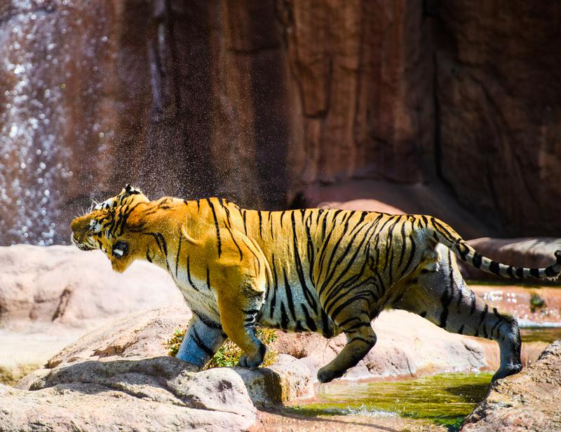 Beautiful Amur tiger. Action, aggression, aggressive, angry, animal, background, beauty, bengal, big, carnivore, cat, danger, expression, face, feline, head stock images