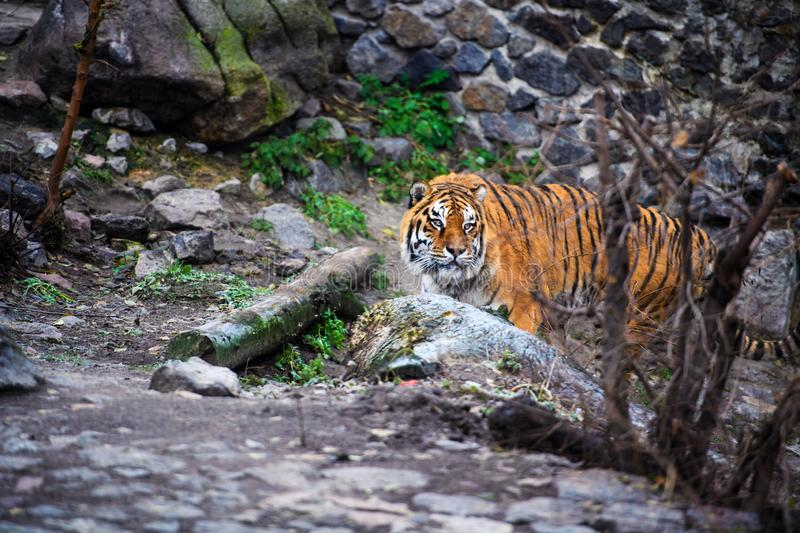 Beautiful Amur tiger. Action, aggression, aggressive, angry, animal, background, beauty, bengal, big, carnivore, cat, danger, expression, face, feline, fur stock photography