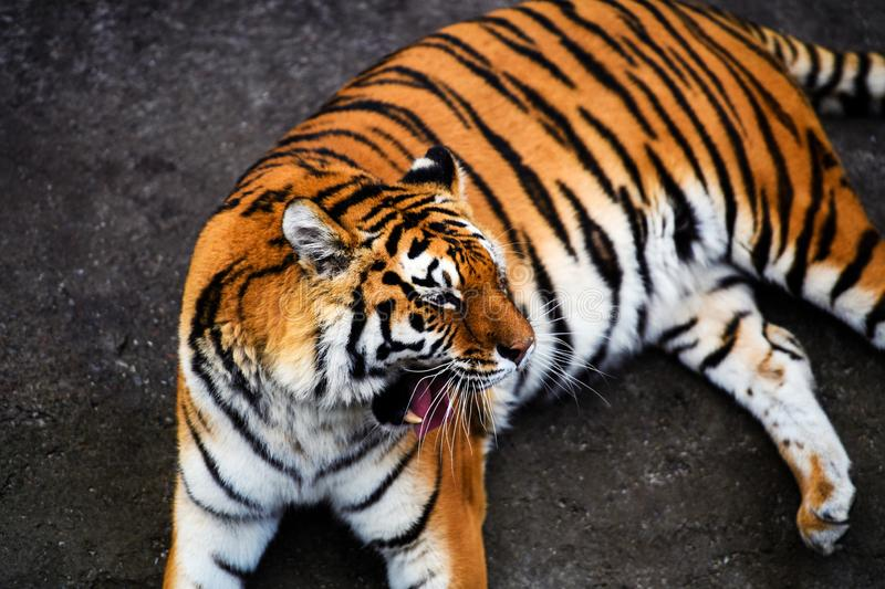 Beautiful Amur tiger. Action, aggression, aggressive, angry, animal, background, beauty, bengal, big, carnivore, cat, danger, expression, face, feline, fur royalty free stock image