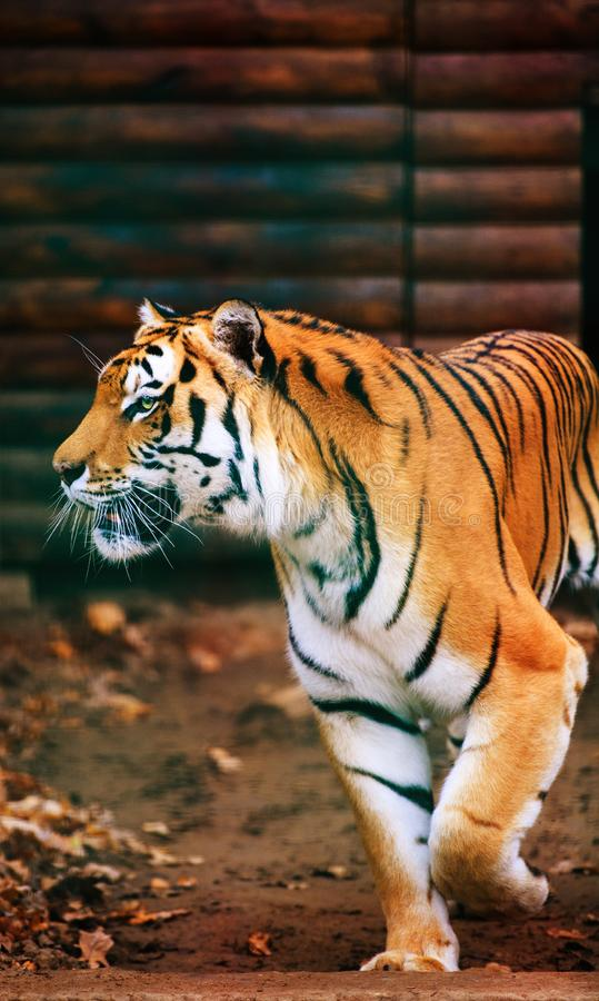 Beautiful Amur tiger. Action, aggression, aggressive, angry, animal, background, beauty, bengal, big, carnivore, cat, danger, expression, face, feline, head royalty free stock photography