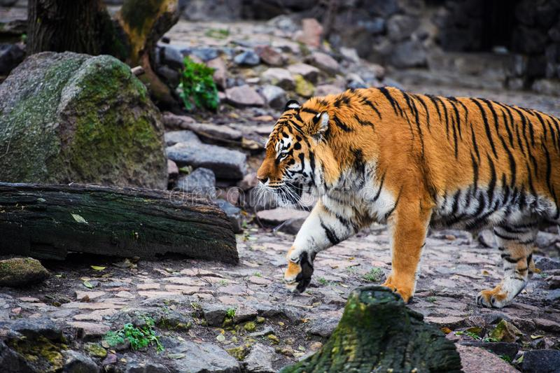 Beautiful Amur tiger. Action, aggression, aggressive, angry, animal, background, beauty, bengal, big, carnivore, cat, danger, expression, face, feline, fur royalty free stock images