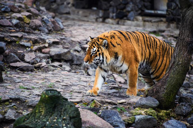 Beautiful Amur tiger. Action, aggression, aggressive, angry, animal, background, beauty, bengal, big, carnivore, cat, danger, expression, face, feline, fur royalty free stock photography