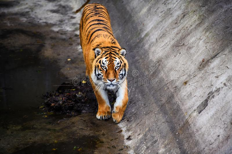 Beautiful Amur tiger. Action, aggression, aggressive, angry, animal, background, beauty, bengal, big, carnivore, cat, danger, expression, face, feline, fur royalty free stock photo