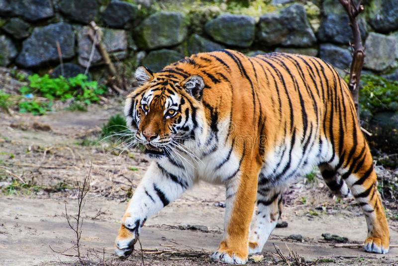Beautiful Amur tiger. Action, aggression, aggressive, angry, animal, background, beauty, bengal, big, carnivore, cat, danger, expression, face, feline, fur royalty free stock photos