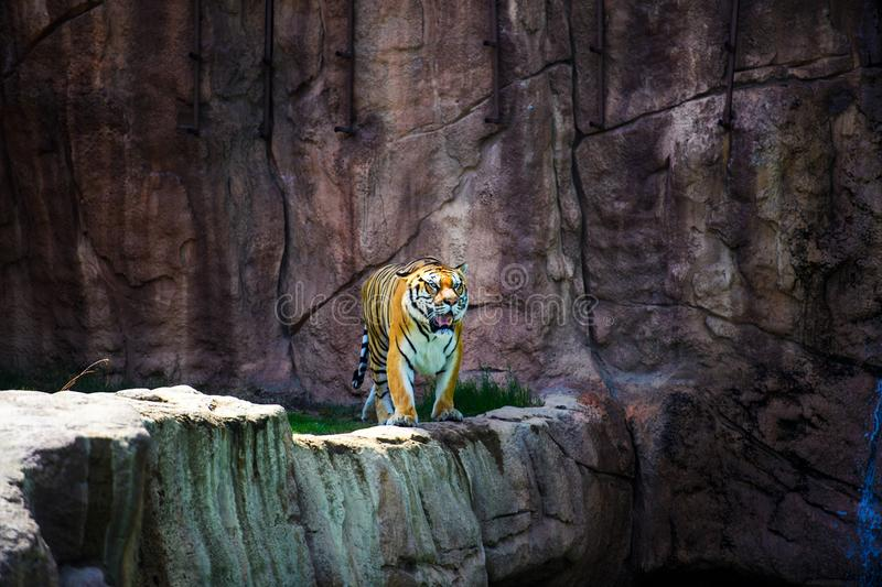 Beautiful Amur tiger. Action, aggression, aggressive, angry, animal, background, beauty, bengal, big, carnivore, cat, danger, expression, face, feline, fur stock photo
