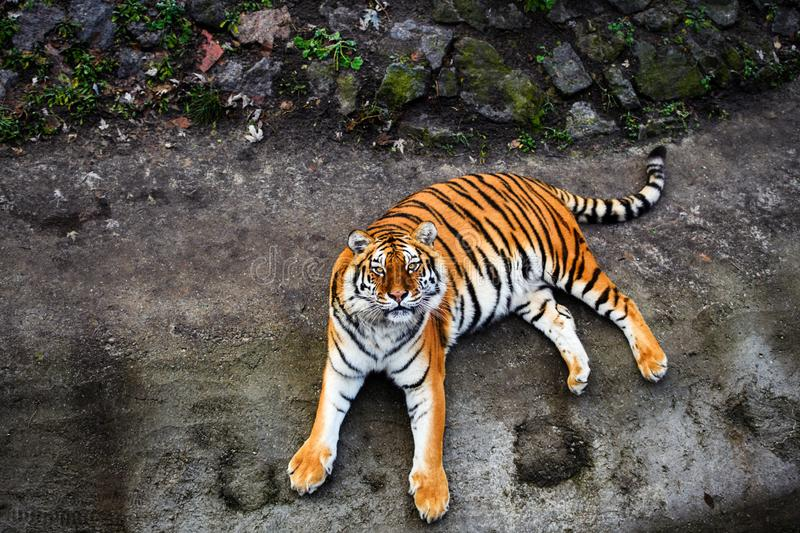 Beautiful Amur tiger. Action, aggression, aggressive, angry, animal, background, beauty, bengal, big, carnivore, cat, danger, expression, face, feline, fur stock photos