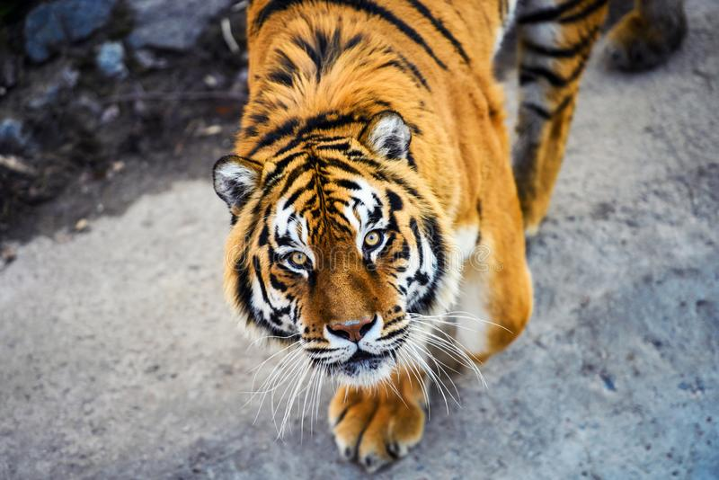 Beautiful Amur tiger. Adult, aggressive, angry, animal, beauty, big, cat, catwalk, danger, expression, eyes, face, head, hunt, hunter, look, nature, portrait royalty free stock photo
