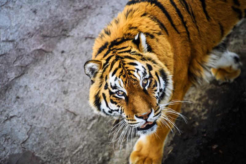 Beautiful Amur tiger. Adult, aggressive, angry, animal, beauty, big, cat, catwalk, danger, expression, eyes, face, head, hunt, hunter, look, nature, portrait royalty free stock images