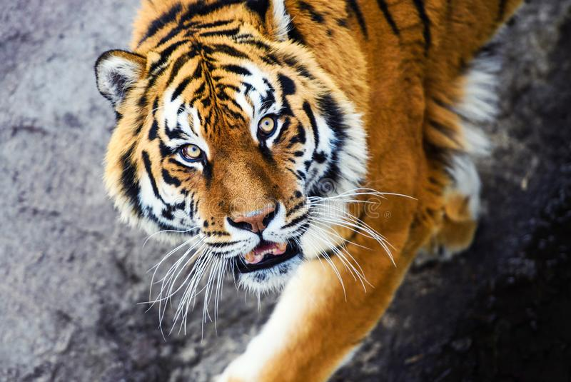 Beautiful Amur tiger. Adult, aggressive, angry, animal, beauty, big, cat, catwalk, danger, expression, eyes, face, head, hunt, hunter, look, nature, portrait stock photo