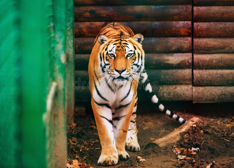 Beautiful Amur tiger. Action, aggression, aggressive, angry, animal, background, beauty, bengal, big, carnivore, cat, danger, expression, face, feline, head royalty free stock photo