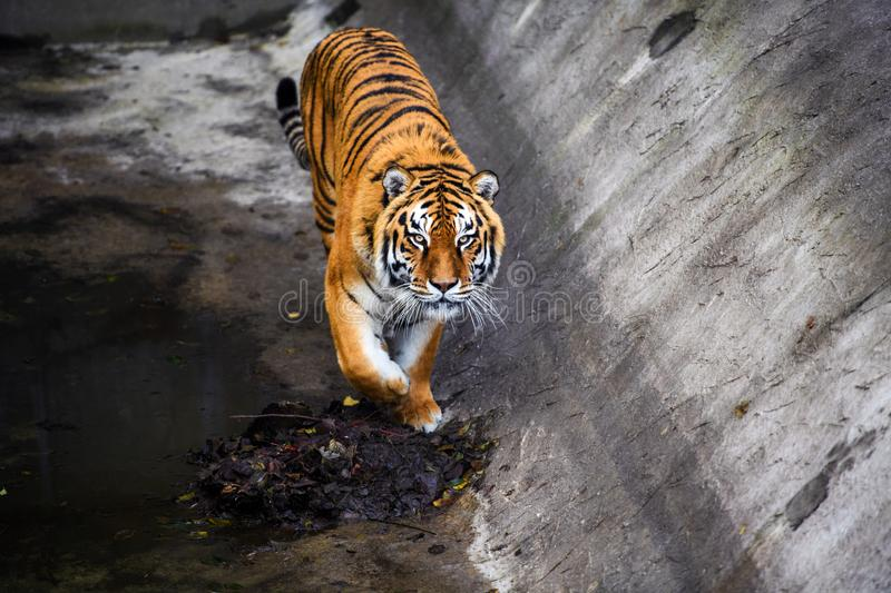 Beautiful Amur tiger. Action, aggression, aggressive, angry, animal, background, beauty, bengal, big, carnivore, cat, danger, expression, face, feline, fur stock images