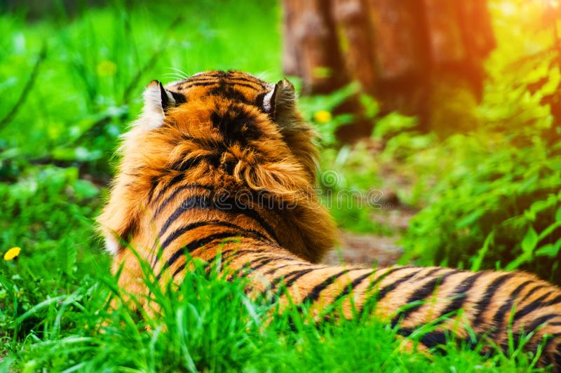 Beautiful amur tiger portrait. Action, aggression, aggressive, angry, animal, background, beauty, bengal, big, carnivore, cat, danger, expression, face, feline stock photos