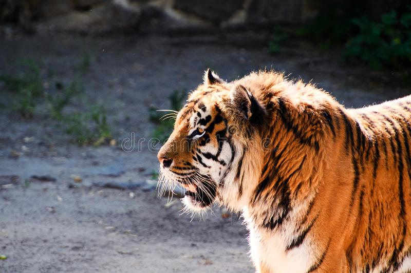 Beautiful amur tiger portrait. Outdoors, brown, autumn, forest, action, aggression, aggressive, angry, animal, background, beauty, bengal, big, carnivore, cat stock photography