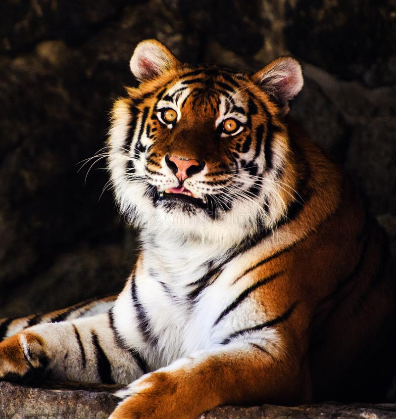 Beautiful amur tiger portrait stock photo