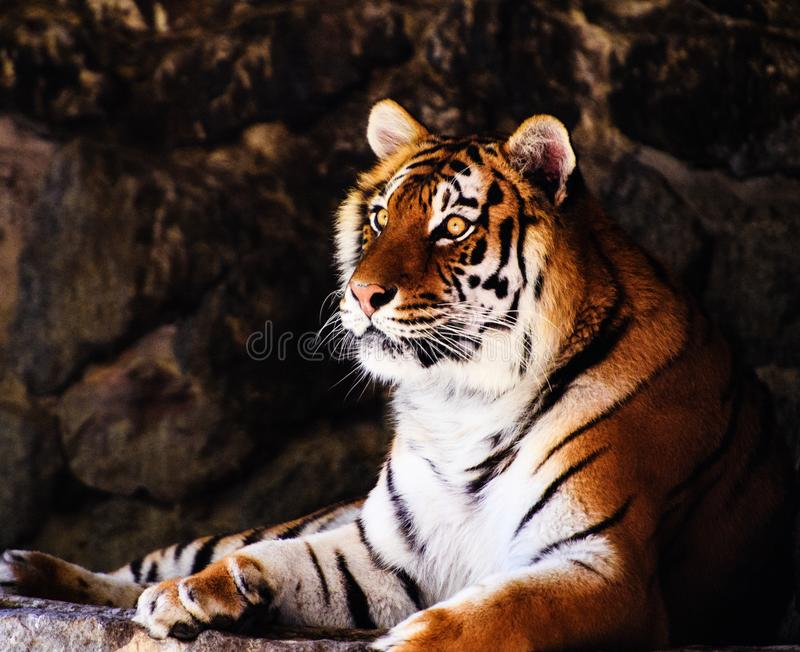 Beautiful amur tiger portrait stock photos