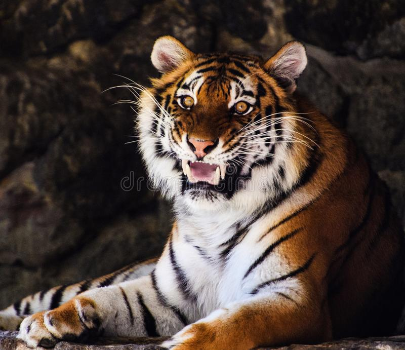 Beautiful amur tiger portrait stock photography