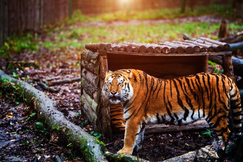 Beautiful amur tiger portrait. Outdoors, brown, autumn, forest, action, aggression, aggressive, angry, animal, background, beauty, bengal, big, carnivore, cat stock image